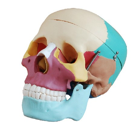 Skull with Colored Bones Joint Model XC-104C